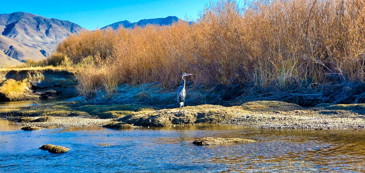 The Lower Owens River in the fall with a great blue heron in the foreground and the White Mountains in the background.