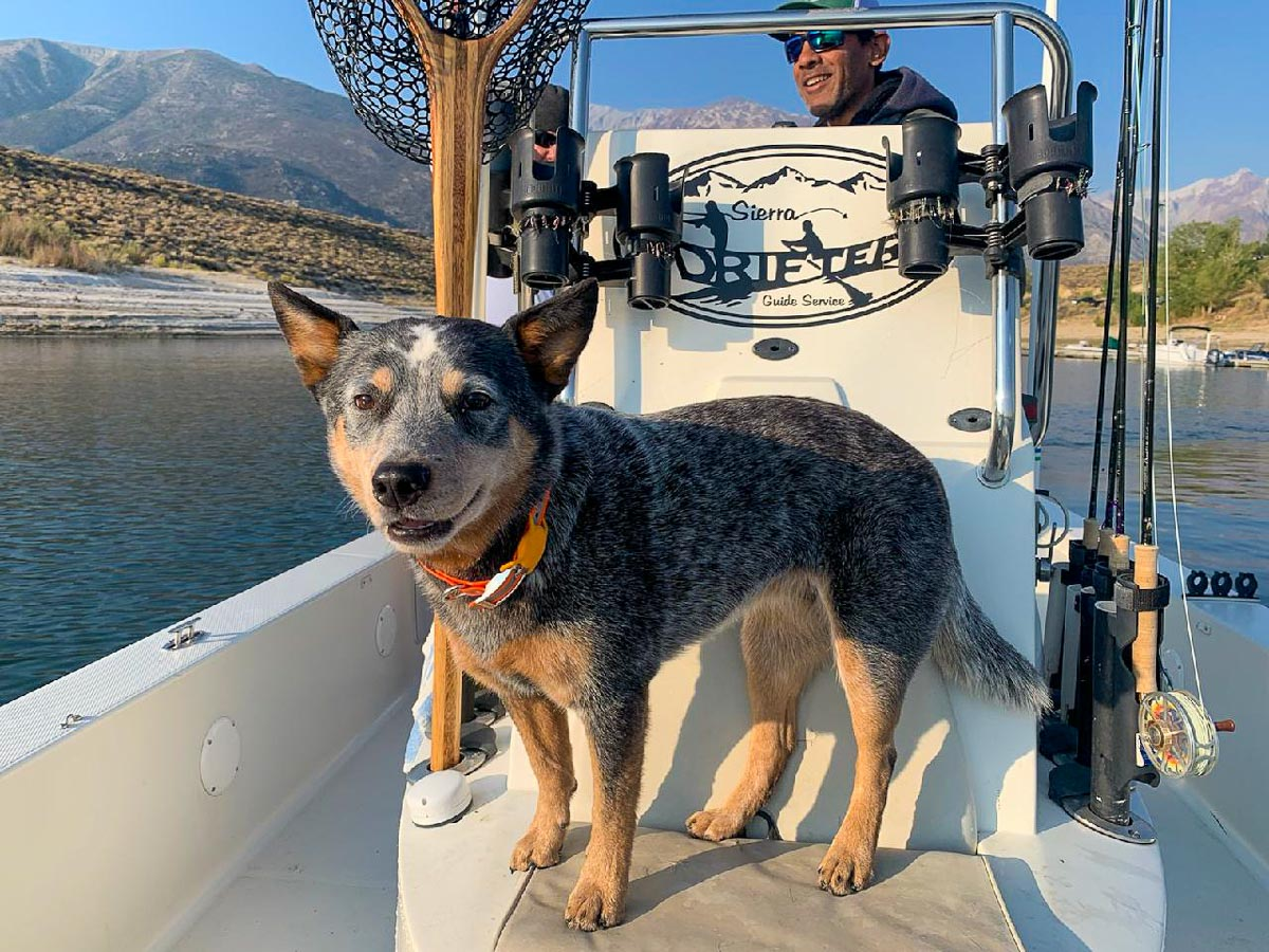 An Australian Cattle Dog on a boat on a lake with a man in the background.