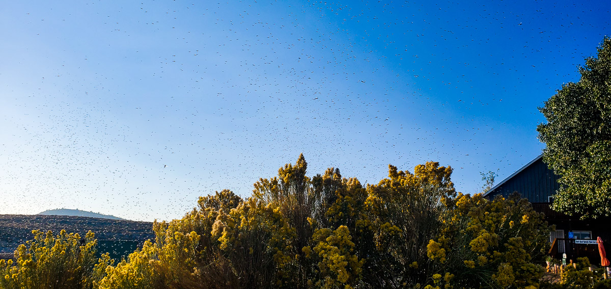 A swarm of flying insects in the morning with a couple of trees.
